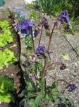 Aquilegia vulgaris2004071431.jpg