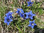 Gentiana_alpina14040712251.jpg