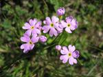 Primula_farinosa0107071146.jpg