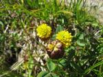Trifolium_badium1507071344.jpg