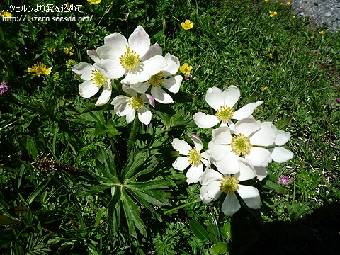 anemonenarcissiflora2606111344.jpg