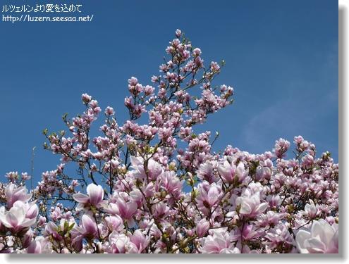 magnolia1704131559.jpg