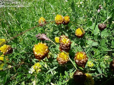 trifoliumadium0307111229.jpg