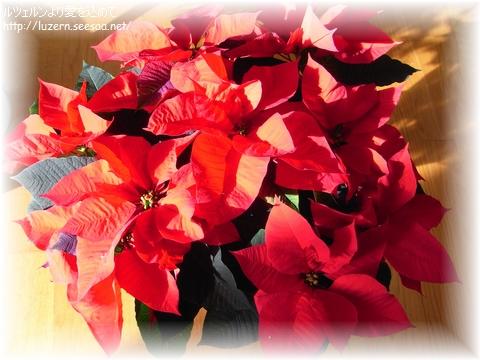 weihnachtsstern0911121430.jpg