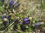Gentiana_alpina1604071322.jpg