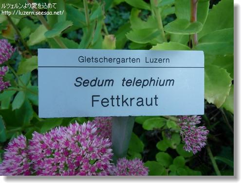 Sedum telephium2109121011.jpg