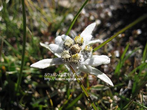 edelweiss0608071109.jpg
