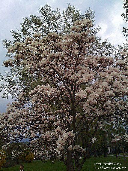 magnolia2204091946.jpg