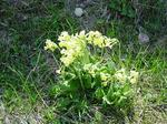 schuelsselbluemen.jpg